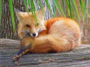 fox-resting-on-log-jodi-terracina